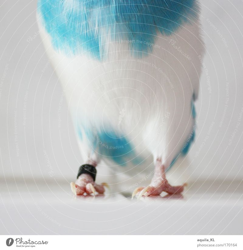 DODO is shy Colour photo Interior shot Close-up Day Animal portrait Full-length Front view Pet Wild animal Bird Budgerigar 1 Claw Feather Blue-white Parrots