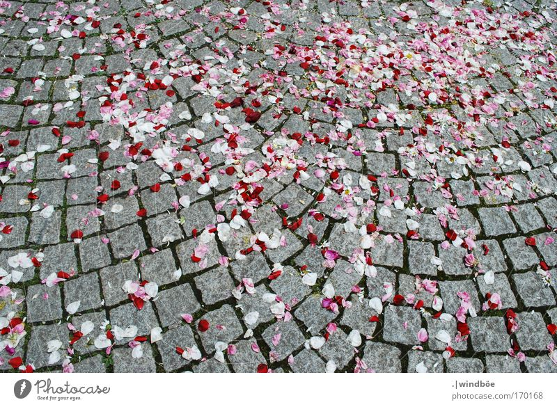 rose petals Colour photo Exterior shot Deserted Day Sunlight Bird's-eye view Stone Fragrance Free Friendliness Happiness Fresh Multicoloured Gray Red White Joy