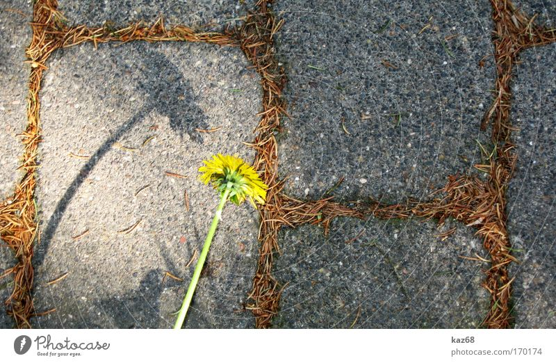 Don't let your head hang down Dandelion Shadow Stone Protest Revolt Independence Power Force Environment Environmental pollution Environmental protection Growth