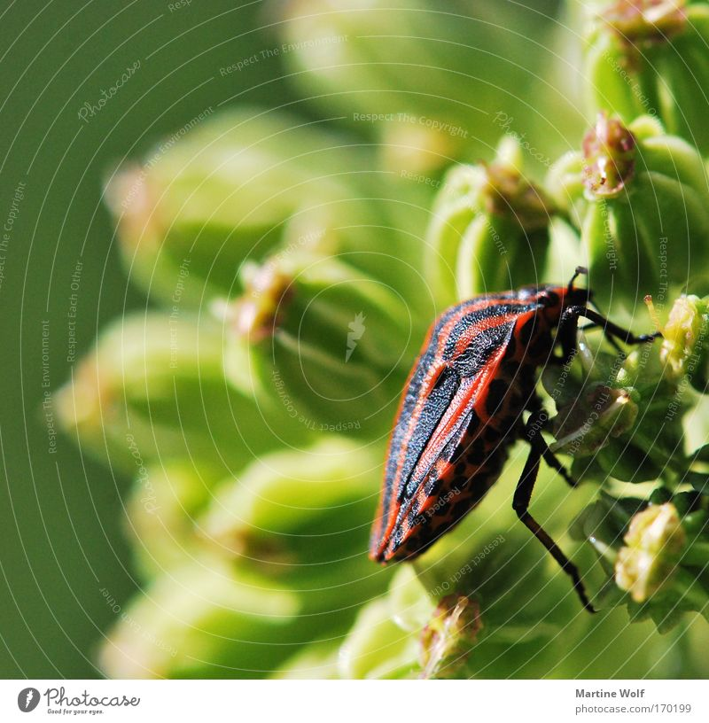 climbing artist Nature Plant Animal Flower Beetle striped bug Bug 1 Crawl Free Natural Green Red Black Light Climbing Shell Colour photo Multicoloured