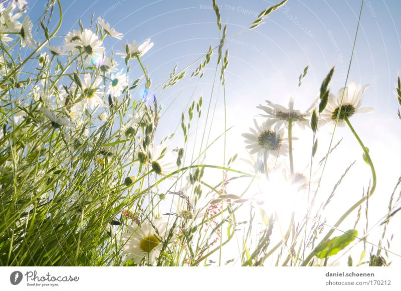 Nature Sky White Sun Flower Blue Plant Summer Meadow Blossom Grass Spring Bright Fresh Esthetic Beautiful weather