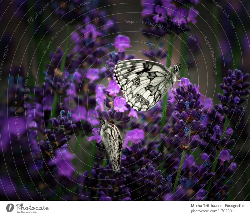 Butterflies & Flowers Nature Plant Animal Sunlight Summer Blossom Wild plant Garden Meadow Wild animal Butterfly Wing 2 Observe Blossoming Fragrance Flying Sit