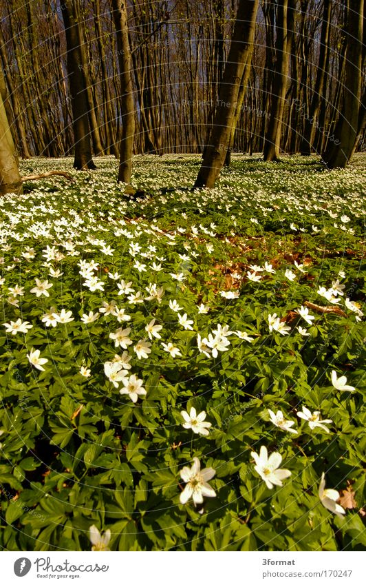 SPRING IN THE FOREST Forest Spring Butomaceae Flowerbed Flower-shaped Potting soil Fragrance Flower stalk Flower meadow Blossom Tree Blue Blue sky stalls Carpet
