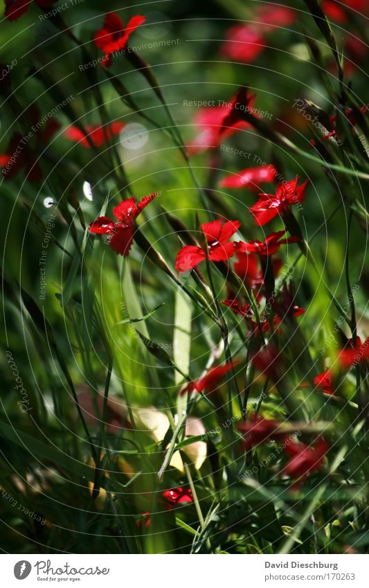 Nature Green Beautiful Summer Plant Red Flower Environment Spring Blossom Uniqueness Blossoming Stalk Meadow flower Wild plant