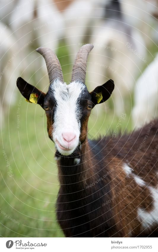 inquisitiveness Agriculture Forestry Meadow Farm animal Goats 1 Animal Herd Observe Looking Esthetic Authentic Friendliness Funny Sustainability Positive
