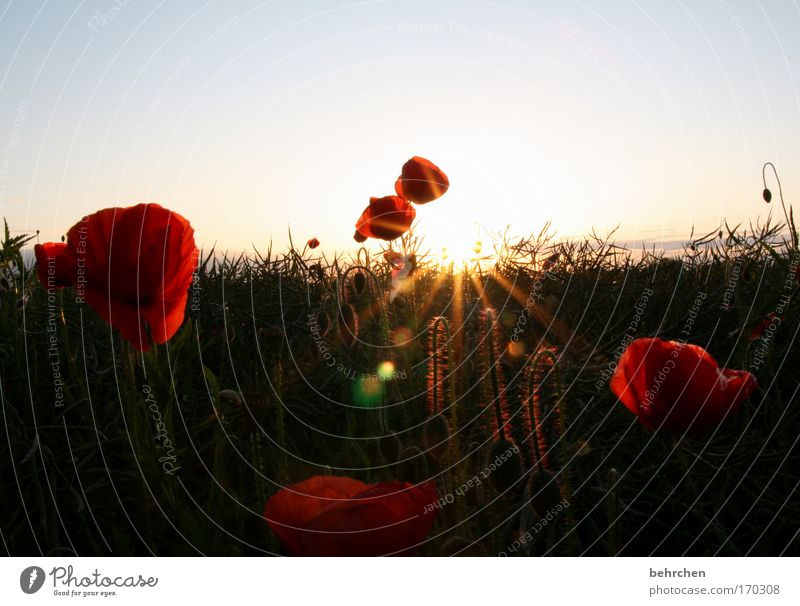 Nature Beautiful Sun Plant Red Summer Spring Warmth Field Environment Growth Blossoming Illuminate Agriculture Poppy Harvest