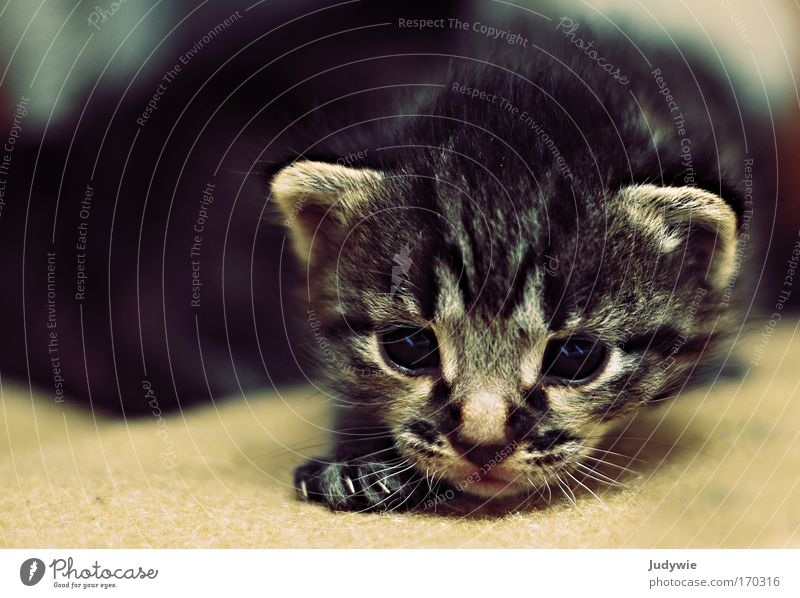 Kuller's Eye Catkin II Colour photo Interior shot Copy Space left Animal portrait Looking into the camera Hair and hairstyles Pet 1 Baby animal Discover Going