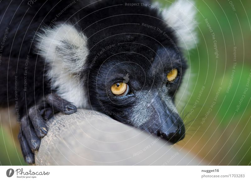 dreamy Nature Summer Animal Wild animal Animal face Pelt Paw Half-apes 1 Observe Relaxation To enjoy Lie Dream Esthetic Exotic Friendliness Beautiful Yellow