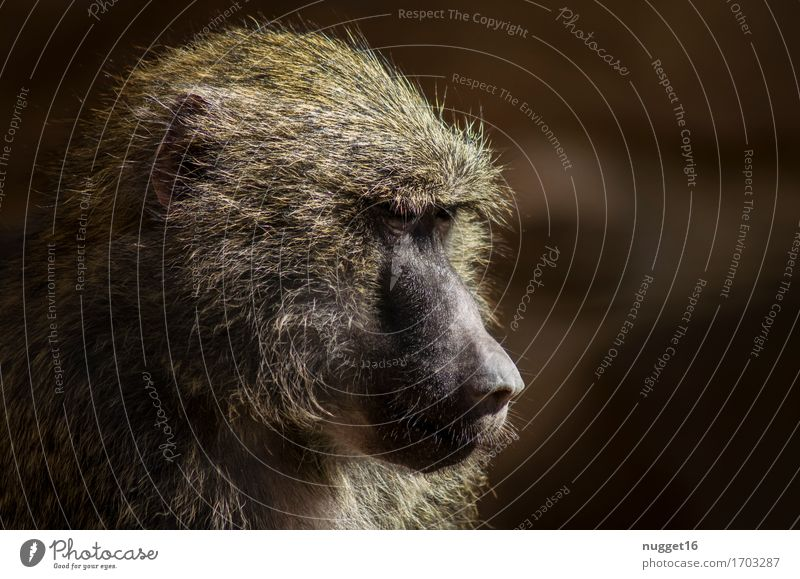 the daydreamer Animal Wild animal Animal face Pelt Zoo Monkeys 1 Think To enjoy Dream Old Authentic Exotic Natural Brown Moody Contentment Power Trust