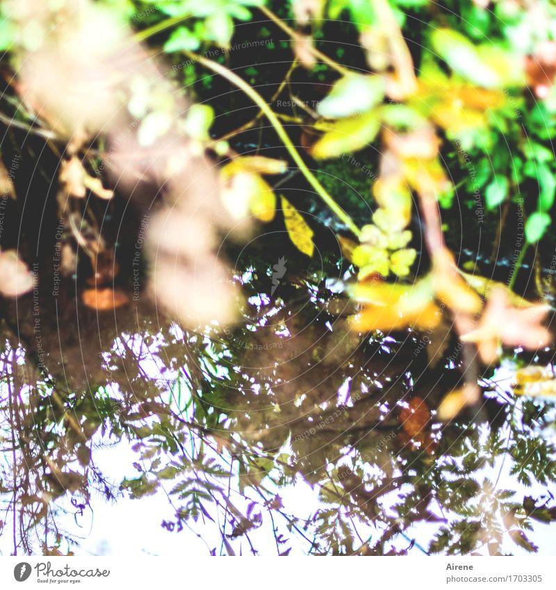 peripheral phenomenon Nature Water Plant Grass Leaf Lakeside River bank Pond Brook Glittering Natural Brown Yellow Green Make green Lush Reflection