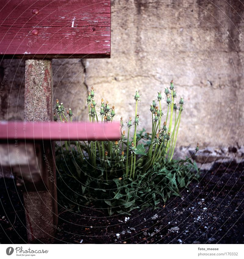 Dandelions and Bench Nature Green Red Plant Calm Environment Wall (building) Wood Gray Garden Stone Wall (barrier) Contentment Esthetic Growth Bench