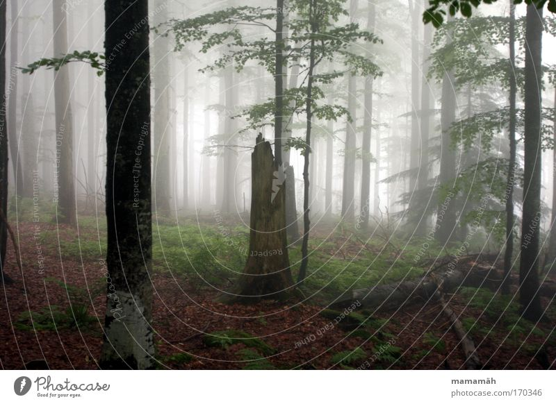 Fog walk I Colour photo Exterior shot Nature Landscape Bad weather Tree Moss Forest Dark Creepy Fear Tree trunk Leaf Eerie Fairy tale Enchanted forest Day