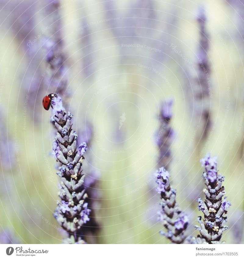 happy beetle Nature Plant Beautiful Ladybird Lavender Lavender field Happy Provence Violet Field Insect Bright green South Southern France Square Warmth