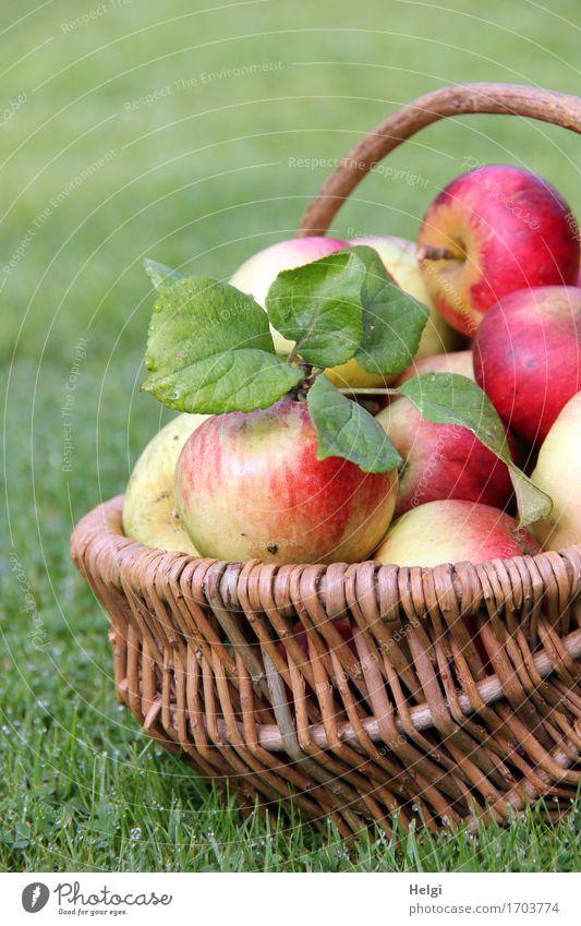 rich harvest... Food Fruit Apple Nutrition Organic produce Vegetarian diet Environment Nature Autumn Leaf Garden Meadow Basket Wicker basket Lie Authentic Fresh