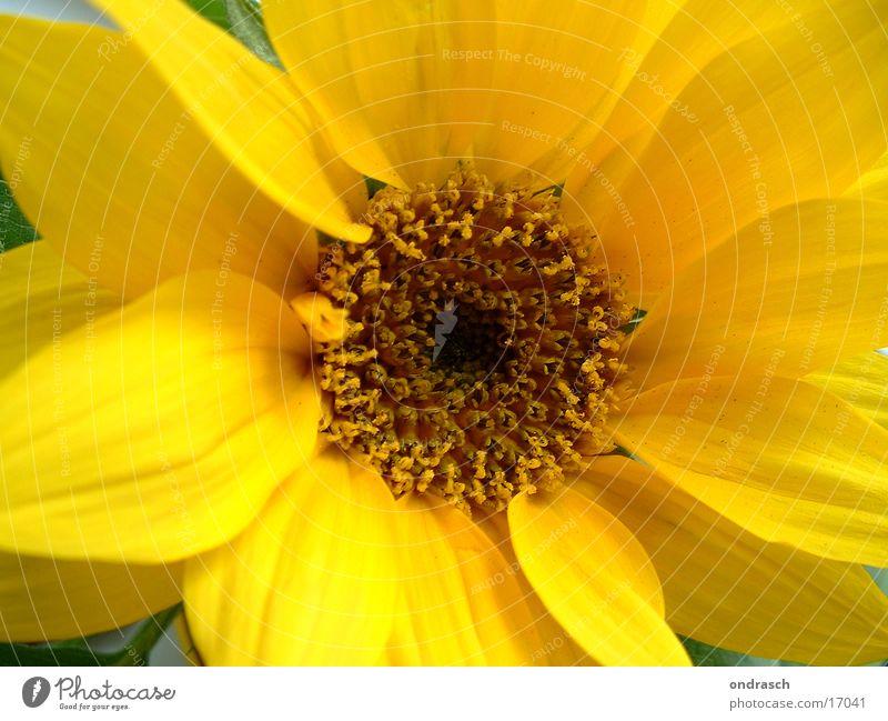 Nature Plant Summer Flower Yellow Spring Orange Italy Sunflower Pistil