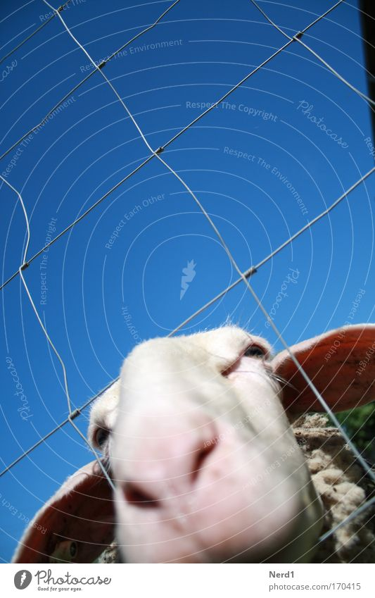 Blue White Animal Curiosity Animal face Pelt Fence Sheep Captured Snout Blue sky Section of image Partially visible Farm animal Cloudless sky Voracious