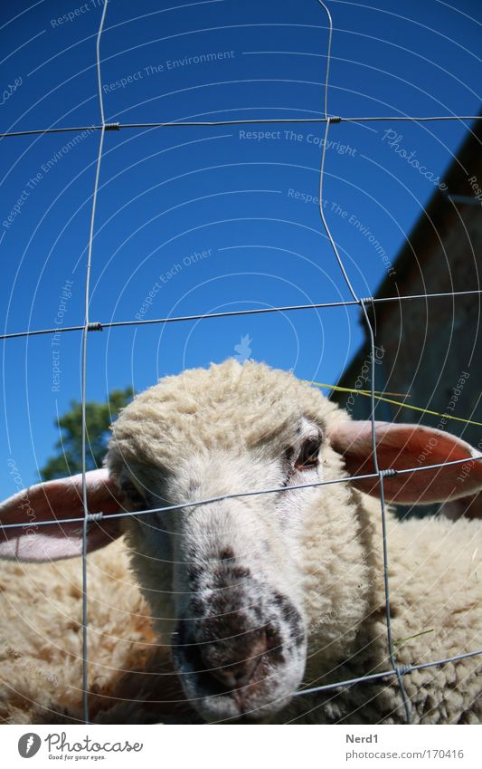 Mäh1 Sheep Fence Wool Small Blue Sky Snout Baby animal Lamb Wire netting fence Head Be confident Curiosity Sheepskin Lamb's wool Looking into the camera