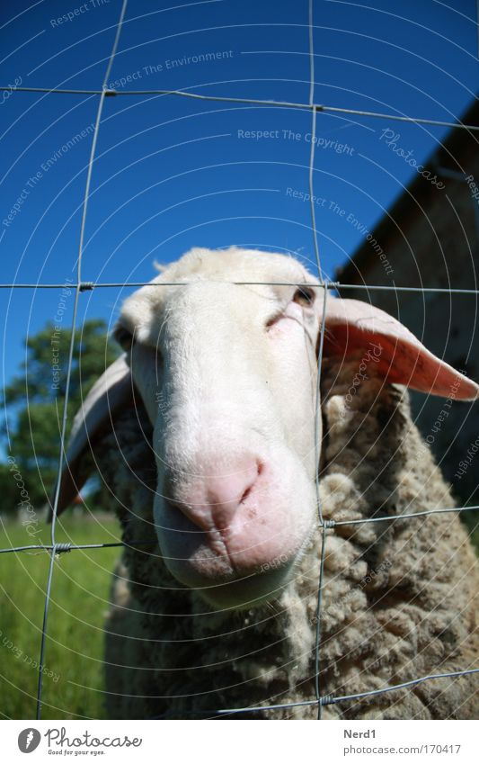 Mower2 Sheep Animal Sky Blue Wool Snout Fence Rural Deserted Animal face Animal portrait 1 Individual Looking into the camera Lamb's wool Sheepskin Curiosity