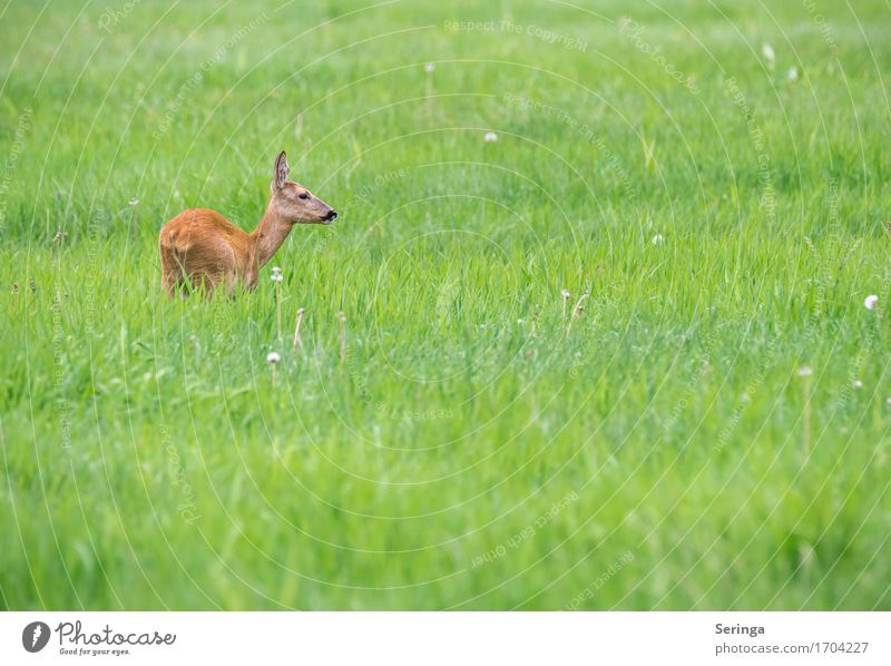 The deer is loose Nature Plant Animal Spring Summer Grass Field Forest Wild animal Animal face Pelt Animal tracks 1 To feed Roe deer Doe eyes Colour photo