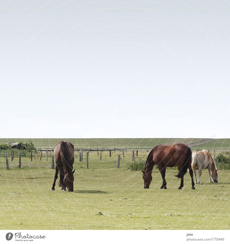 Dinner with three Horses Subdued colour Exterior shot Day Animal portrait Sky Meadow Field North Sea Farm animal Pelt 3 To feed Together Stand Large Blue Green