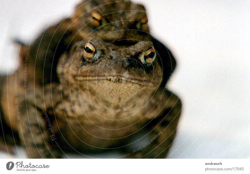 Animal Pair of animals Transport In pairs Frog Affection Offspring Painted frog Fertilization