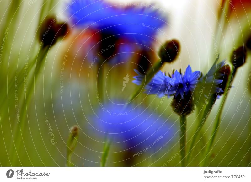 meadow Colour photo Multicoloured Exterior shot Close-up Summer Environment Nature Plant Flower Grass Wild plant Meadow Field Growth Fragrance Beautiful Blue