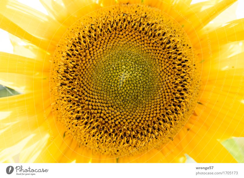 sunflower Plant Summer Blossom Agricultural crop Wild plant Sunflower Near Round Yellow Sunflower seed Landscape format Colour photo Multicoloured Exterior shot