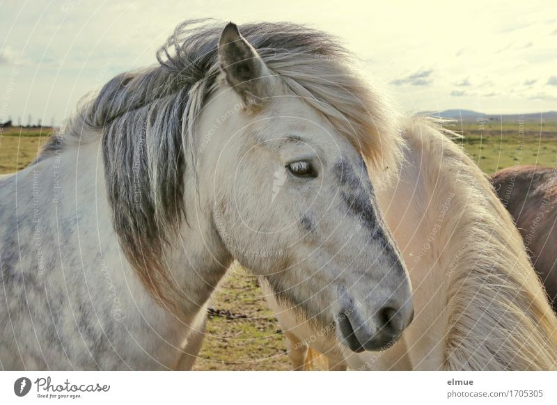 apple grey Iceland Horse Animal face Icelander Iceland Pony Gray (horse) Mane Ear Nostrils Looking Stand Esthetic Curiosity White Happy Contentment Power