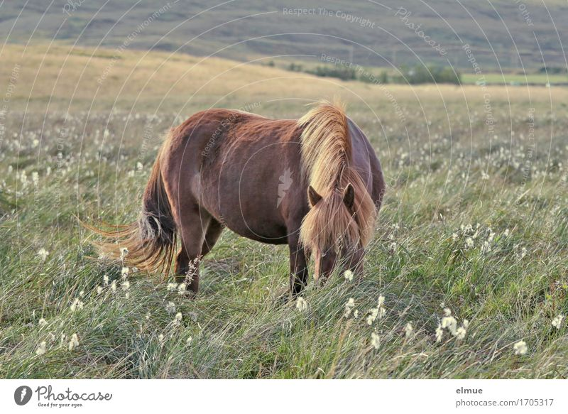 vast country Vacation & Travel Freedom Nature Meadow Pasture Iceland Horse Iceland Pony Icelander Mane Pelt Coat color Tails To feed Esthetic Original Beautiful