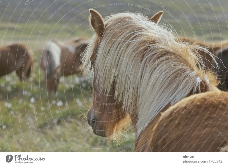 Icelanders Vacation & Travel Freedom Pasture Farm animal Horse Iceland Pony Mane Pelt Coat color Ear Nostrils Looking Stand Beautiful Contentment Power Longing