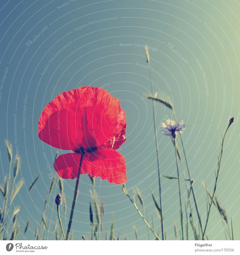 Sky Nature Beautiful Summer Plant Sun Red Warmth Grass Growth Tall Beautiful weather Sunbathing Stalk Turquoise Poppy
