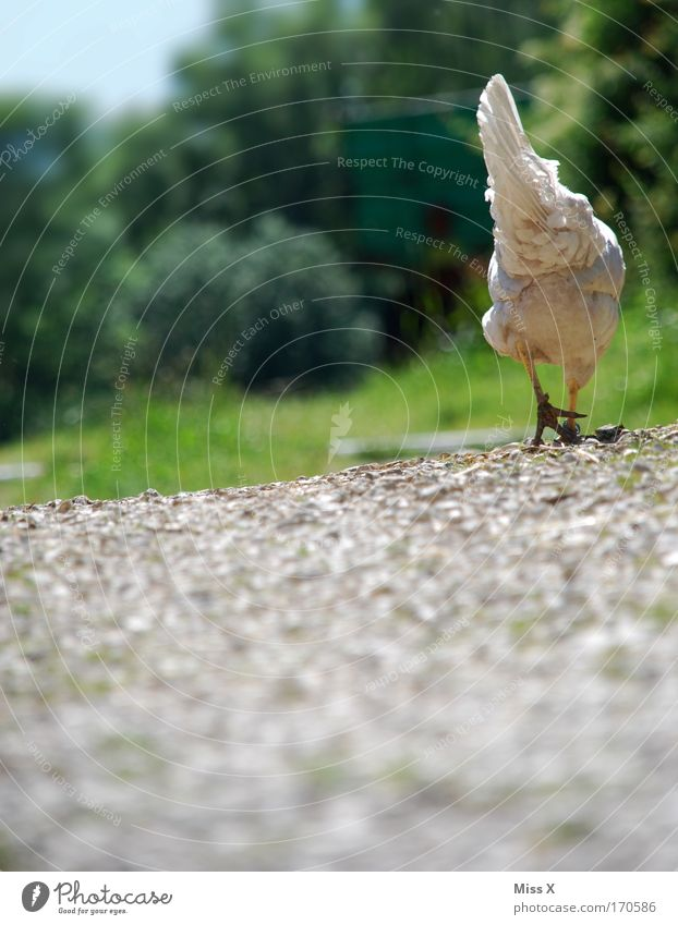 I'm going to lay an egg. Colour photo Exterior shot Shallow depth of field Worm's-eye view Rear view Nature Earth Grass Lanes & trails Farm animal Bird Wing 1