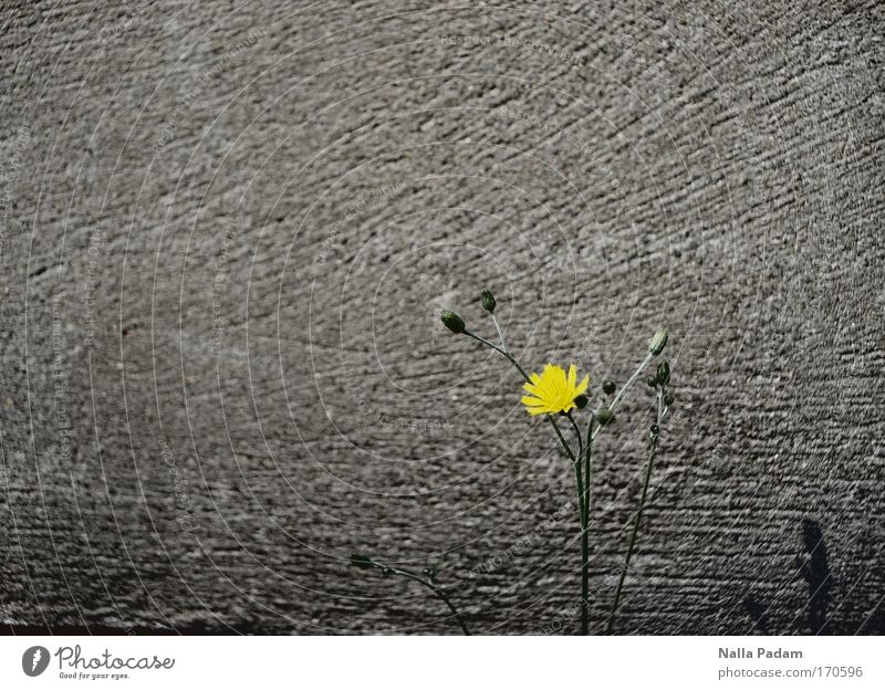 Flower in front of a wall Colour photo Exterior shot Structures and shapes Deserted Copy Space left Copy Space top Day Shadow Contrast Plant Spring Blossom