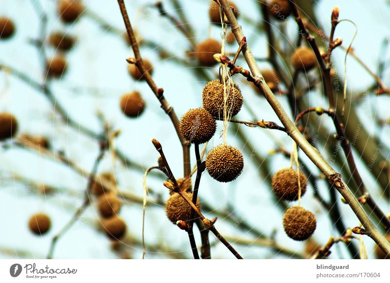 bobble tree Colour photo Exterior shot Deserted Shallow depth of field Nature Sky Spring Tree Wood Cold Natural Dry Branch Tuft Hang Relaxation Brown Leaf bud