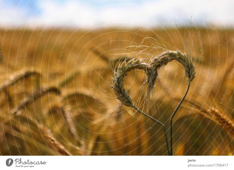 Heartfelt Grain Environment Nature Sky Clouds Summer Beautiful weather Plant Agricultural crop Field Authentic Healthy Natural Environmental protection Barley