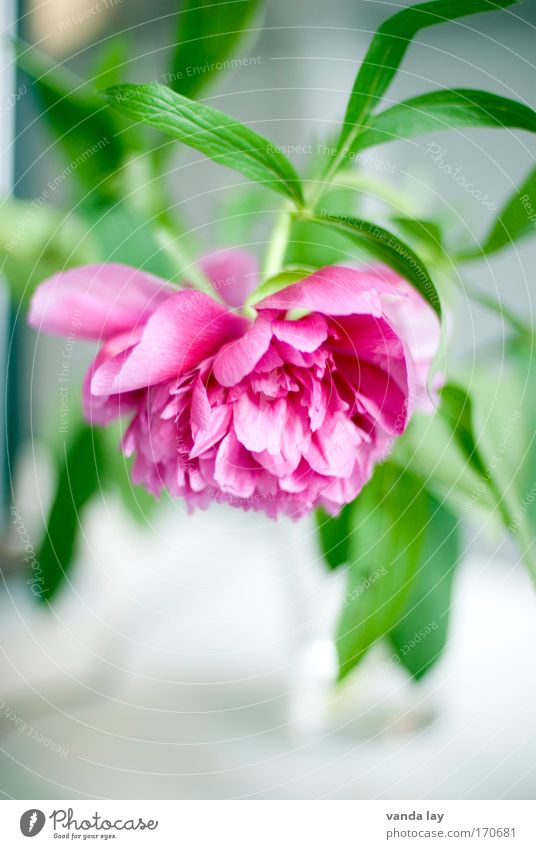 peony Colour photo Interior shot Deserted Copy Space bottom Blur Shallow depth of field Style Living or residing Flat (apartment) Decoration Plant Flower