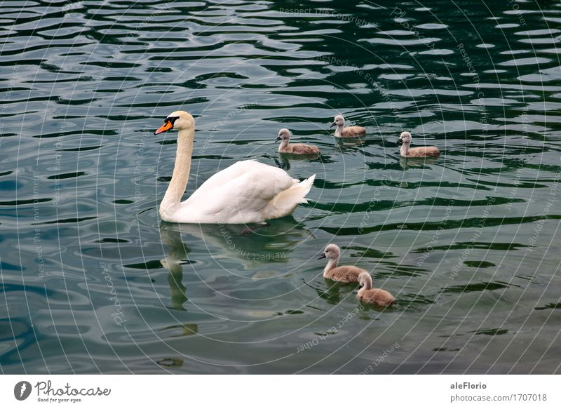 Nature Blue Beautiful Water White Calm Animal Baby animal Love Gray Swimming & Bathing Lake Waves Group of animals Mother Peace