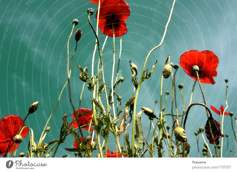 gossip for the poppy Colour photo Multicoloured Exterior shot Copy Space left Day Contrast Sunlight Worm's-eye view Environment Nature Plant Animal Sky Clouds