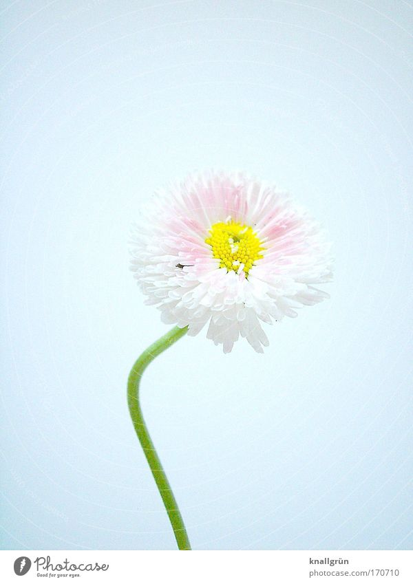 Nature Beautiful White Green Plant Yellow Pink Blossoming Daisy Warped Picked