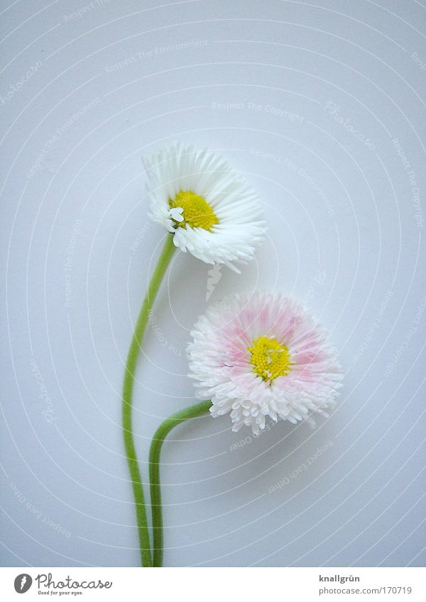affection Colour photo Studio shot Close-up Deserted Copy Space top Copy Space bottom Neutral Background Nature Plant Daisy Blossoming Beautiful Yellow Green