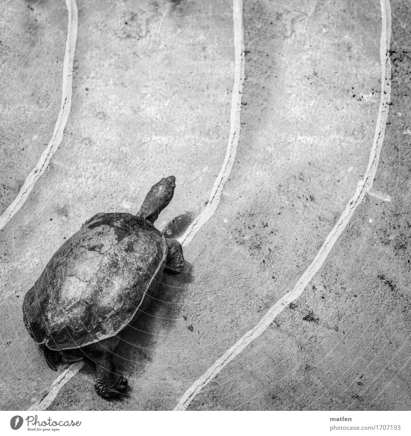 RACE Animal 1 Walking Running Turtle Racecourse Legs Railroad Black & white photo Exterior shot Detail Abstract Pattern Structures and shapes Deserted