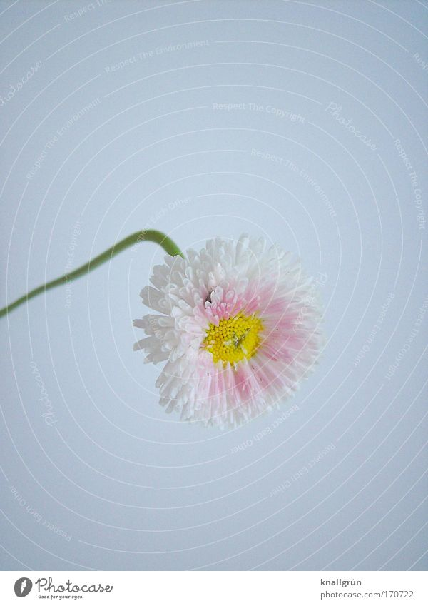 Nature Beautiful White Green Plant Yellow Pink Blossoming Daisy Warped