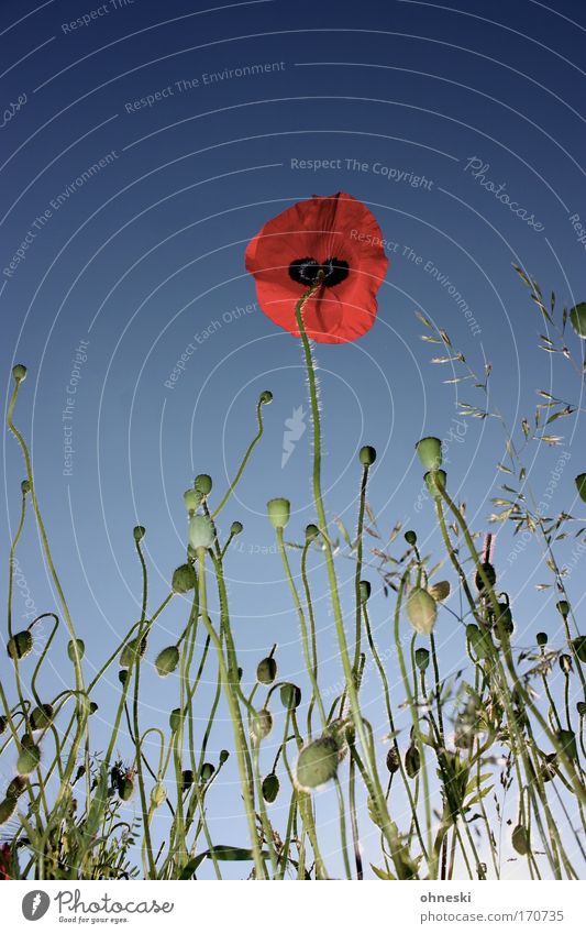 No man on the mohn Colour photo Multicoloured Exterior shot Copy Space top Sunlight Environment Nature Plant Sky Cloudless sky Summer Beautiful weather Flower