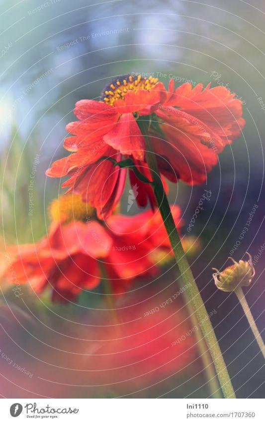 Sunbride in red Plant Sunlight Summer flowers bleed sun bride helenium Garden Park Brash already Brown Multicoloured Yellow Gray green Orange Red