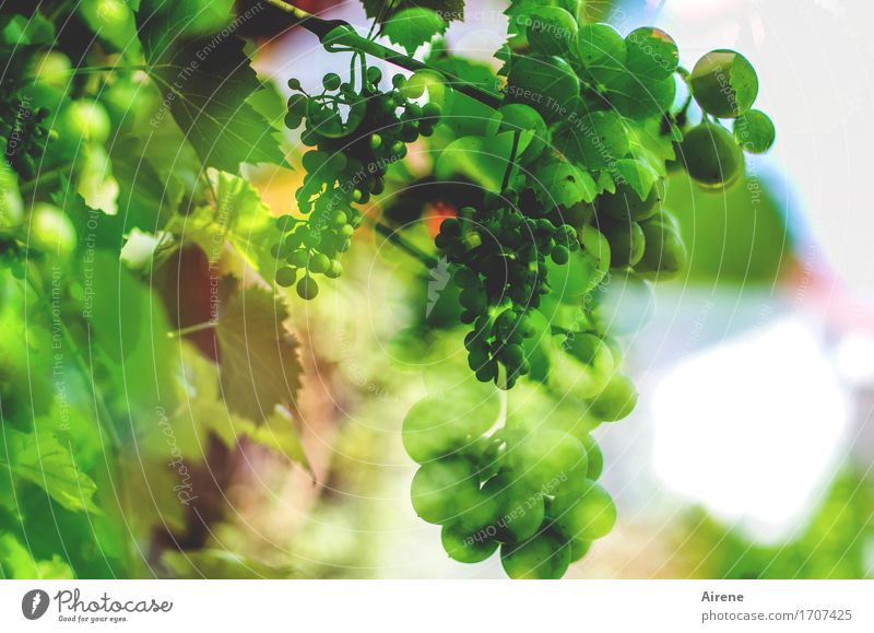 it will be a wine... Food Fruit Organic produce Vegetarian diet Beverage Alcoholic drinks Wine Nature Plant Agricultural crop Berry seed head Bunch of grapes