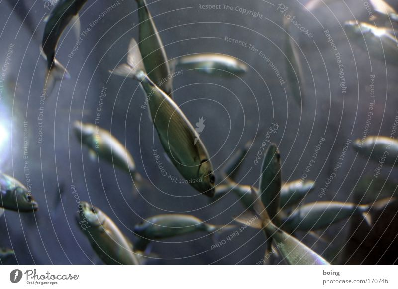 Ocean Food Fish Dive Joie de vivre (Vitality) Wild animal Fishing (Angle) Fisherman Atlantic Ocean Flock Rutting season Trout Salmon Sardine