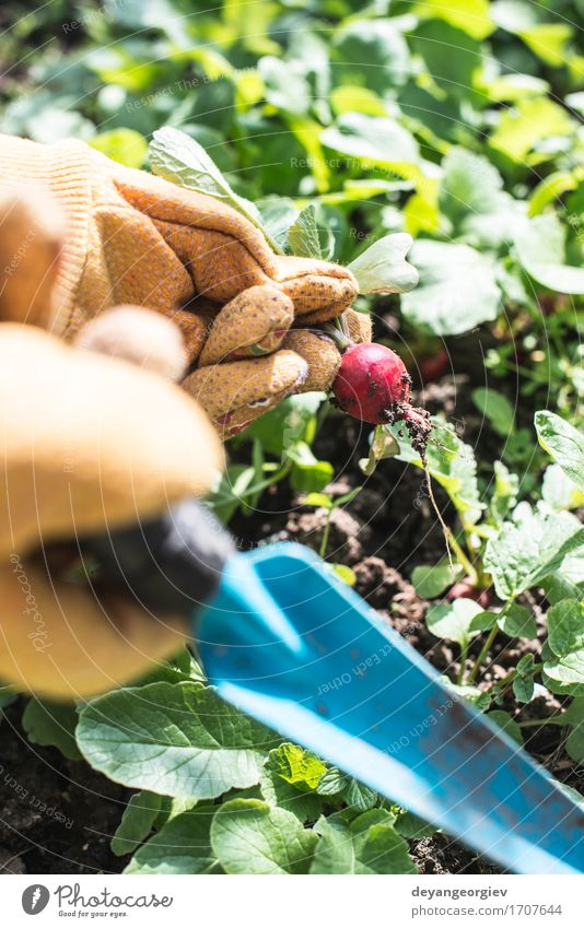 Picking radishes in the garden Woman Nature Plant Summer Green Hand Red Leaf Adults Garden Growth Earth Fresh Vegetable Harvest Vegetarian diet