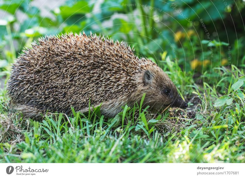 Hedgehog on green grass Nature Plant Summer Green Animal Forest Natural Grass Small Garden Brown Wild Lawn Seasons Mammal Thorny