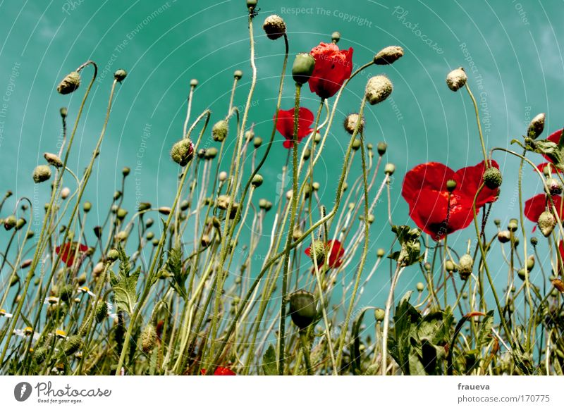 Flower meadow Nature Beautiful Sky Sun Flower Plant Summer Clouds Animal Meadow Blossom Field Environment Esthetic Poppy