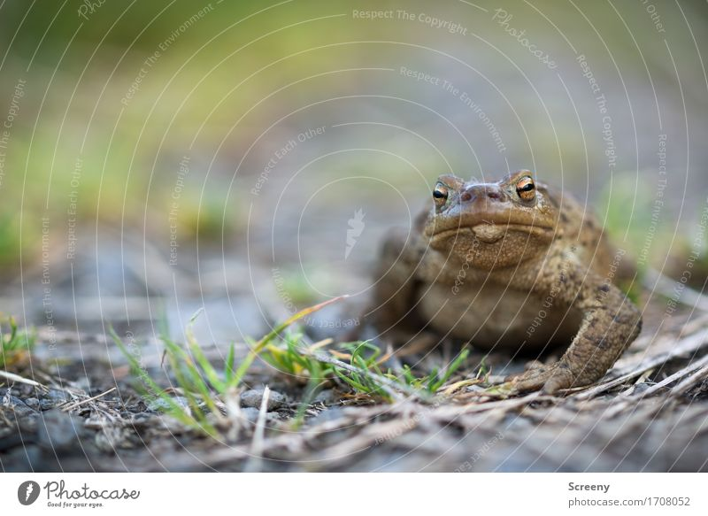 THE BOSS Nature Landscape Plant Animal Earth Summer Grass Meadow Field Eifel Wild animal Frog 1 Observe Sit Small Wet Brown Gray Green Eyes Smoothness